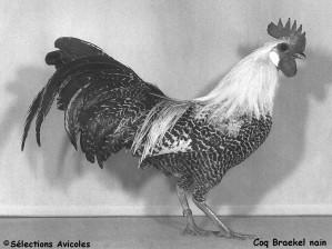 Coq Braekel nain