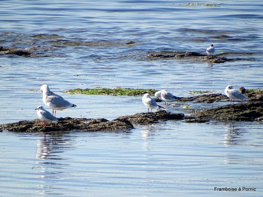 Pornic, Les oiseaux du littoral juillet 2019