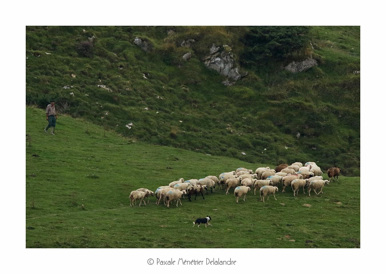 Agneau, Brebis et Béliers en Hautes-Pyrénées