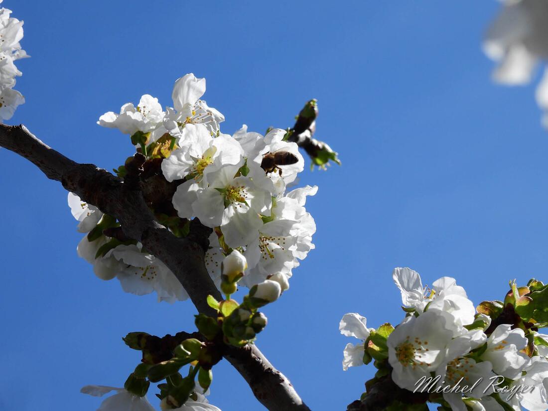 Mon cerisier au mois de mars