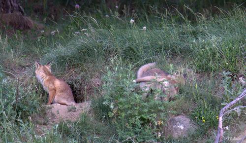 renardeaux (Formigueres)