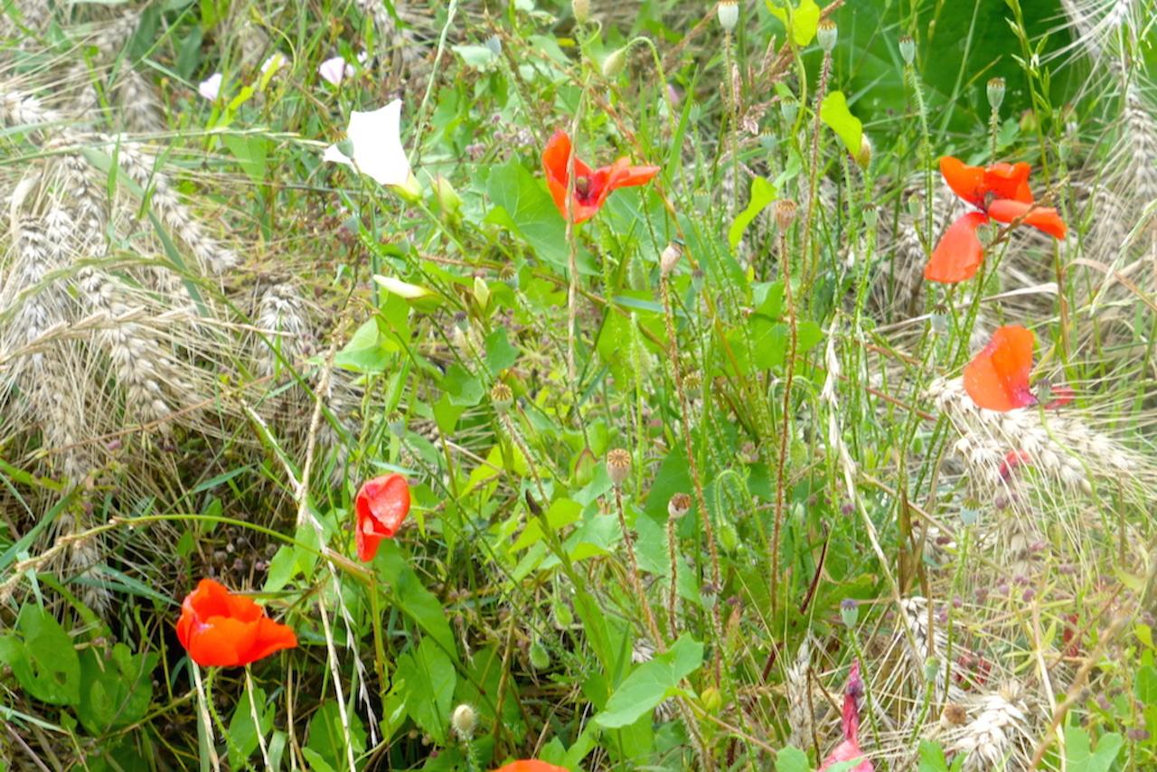 Les petites fleurs des champs ou bordures sylvietoutcourt - Ou acheter le tapis champ de fleurs ...