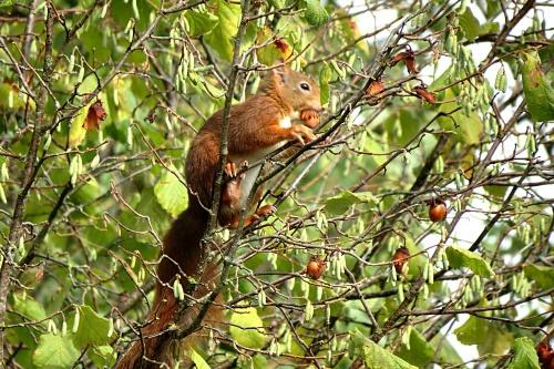 L'écureuil amateur de noisettes...