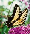 Swallowtail Butterfly (Ageha)