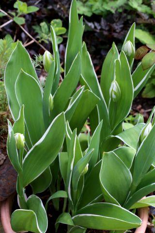 Tulipes 2018 : Happy Generation