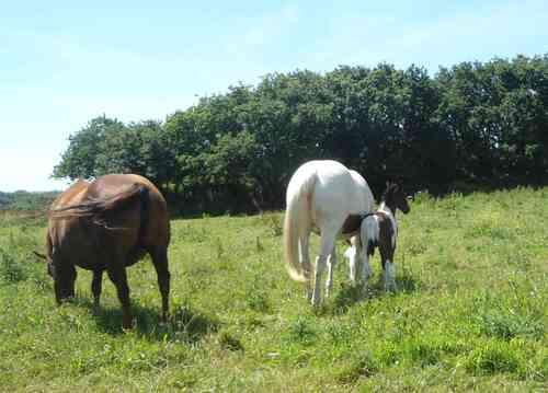 les chevaux à Plouescat le 21 juin