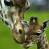 giraffes_-_loving_mother_african_animals_wallpaper