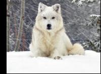 *** La belle et les loups ***