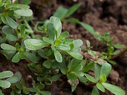 Le pourpier plante grasse très ancienne