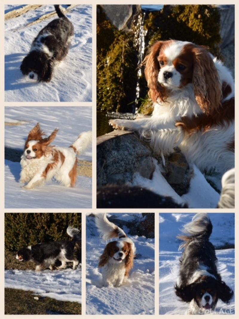 Mes petits chiens à la neige