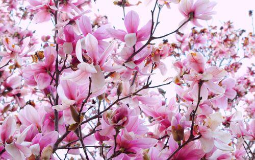 L'épopée du Magnolia