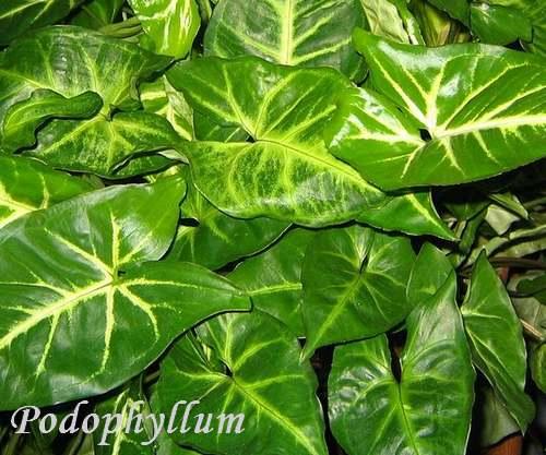 Plantes d 39 int rieur syngonium arac es chezmamielucette for Plantes tropicales d interieur