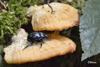Le Géotrupe des bois   (Anoplotrupes stercorosus)  Geotrupidae