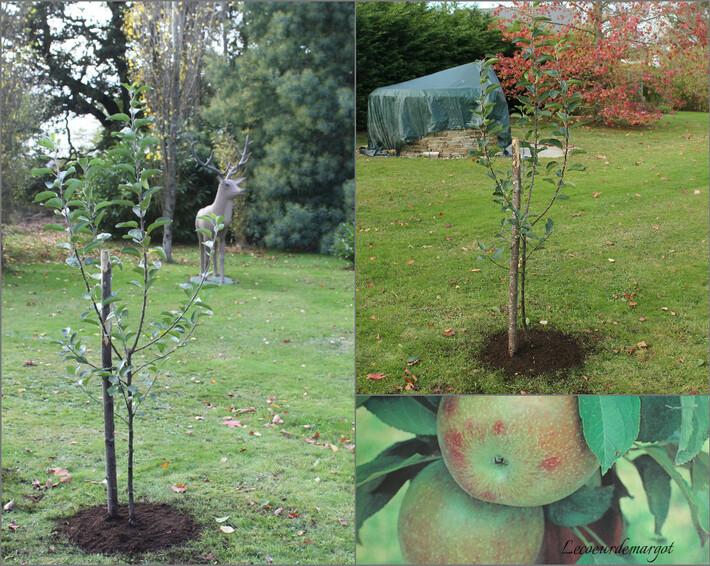 Un nouveau pommier dans le jardin