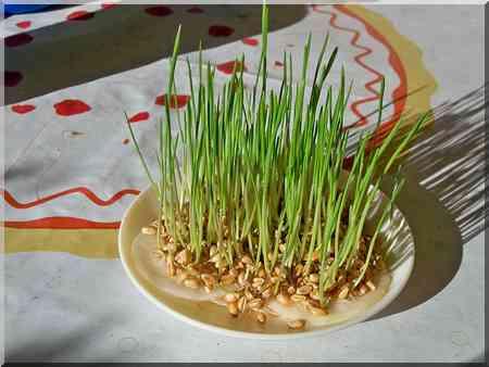 Noël l'Avent le blé de la Sainte-Barbe