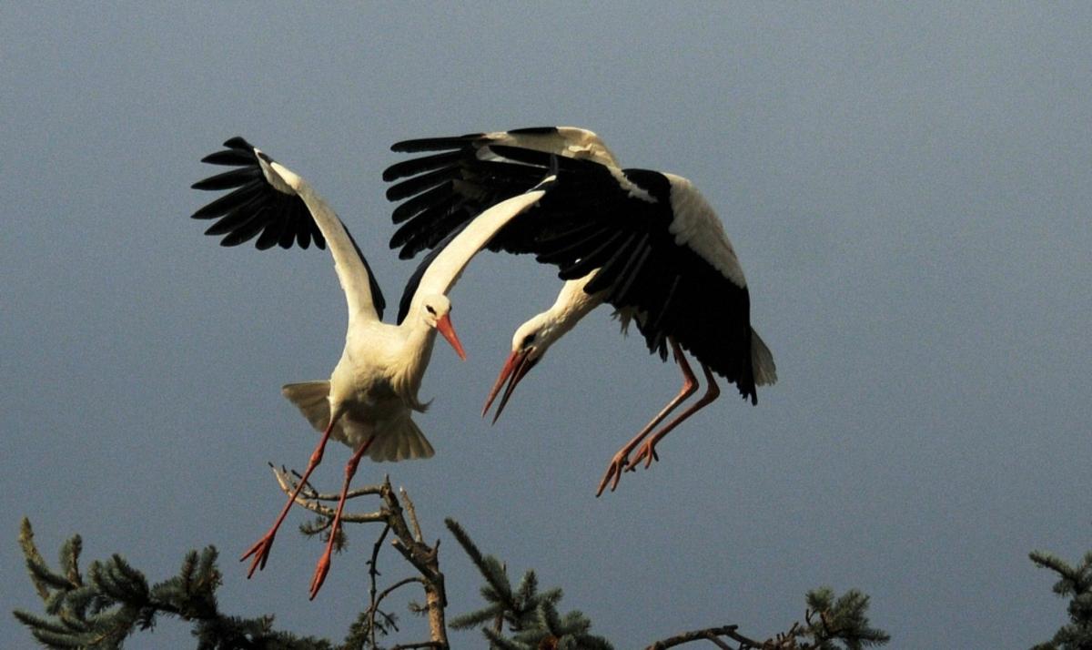 Combat de cigognes