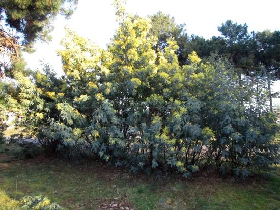 Mimosa_8-3-15 (3)
