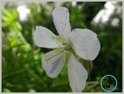 des geraniums oui mais encore........
