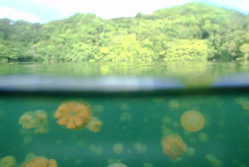 Pouvez-vous imaginer la plongée dans un lac plein de méduses?