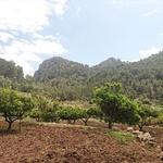 Orangers de Majorque