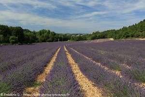champs de lavande à Gréoux-les-Bains