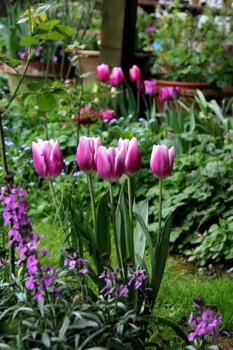 Tulipes 2014 : Synaeda Blue