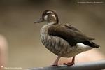 Canard à collier noir ♀