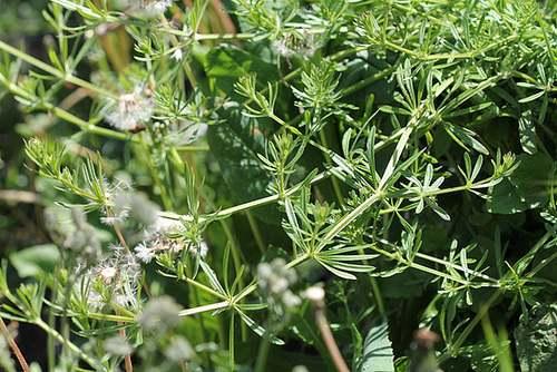 Vertus médicinales des plantes sauvages : Gratteron