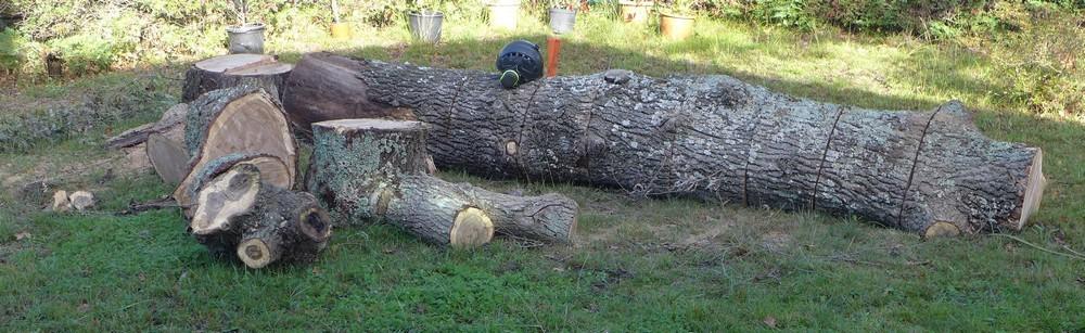 Cette fois, mon chêne n'est plus...