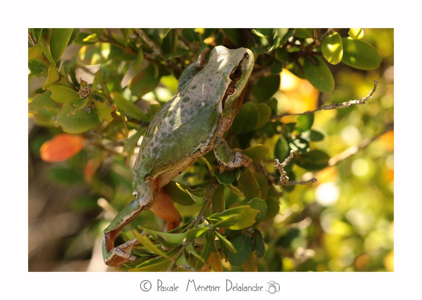 Rainette Méridionale - Hyla meridionalis