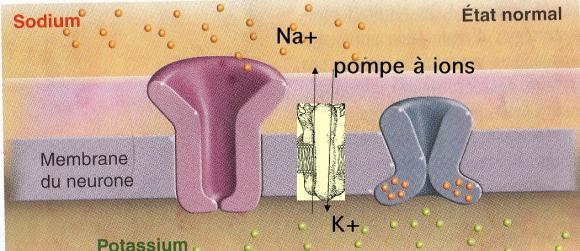 http://lancien.cowblog.fr/images/Cerveau1/axonenormal.jpg