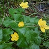 Populage des marais ou Caltha des marais (Caltha palustris)