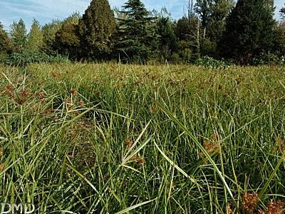 cyperuseragrostis