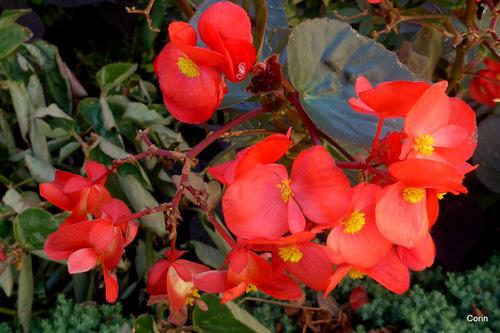 Le bégonia rouge