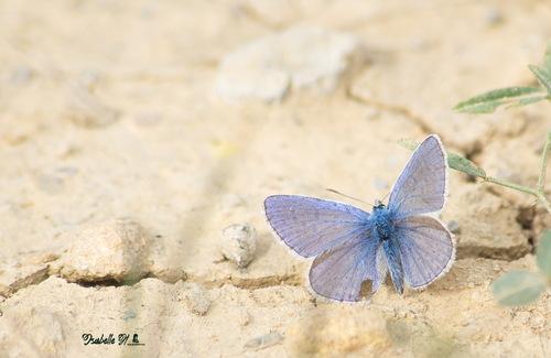 L'Argus bleu-céleste