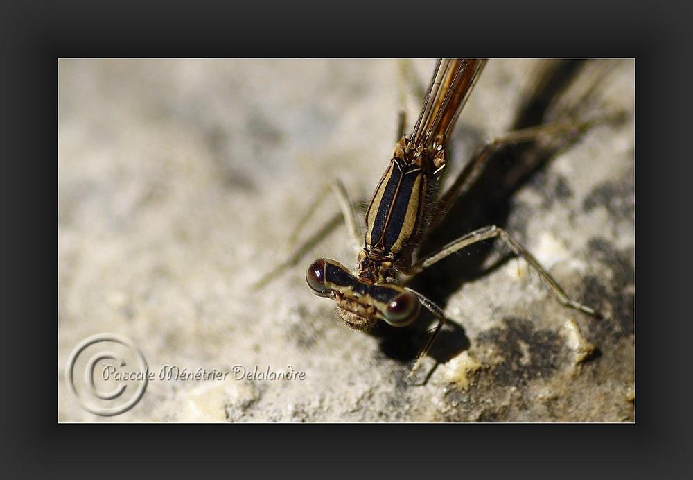 Sympectra fusca femelle