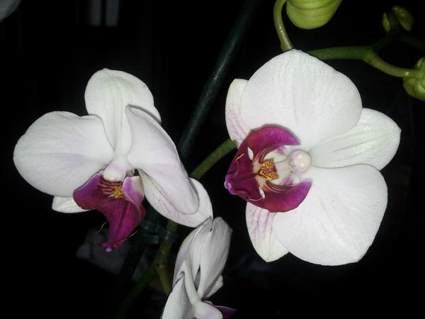 La forêt Notre-Dame et les orchidées Vacherot et Lecoufle avec G13