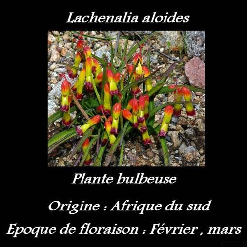 Lachenalia aloides