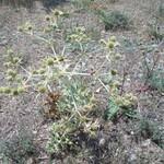 Panicaut--Eryngium-campestre--Tuchan Mai 2014