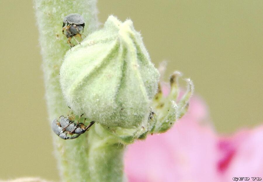 copulations insectoïdes