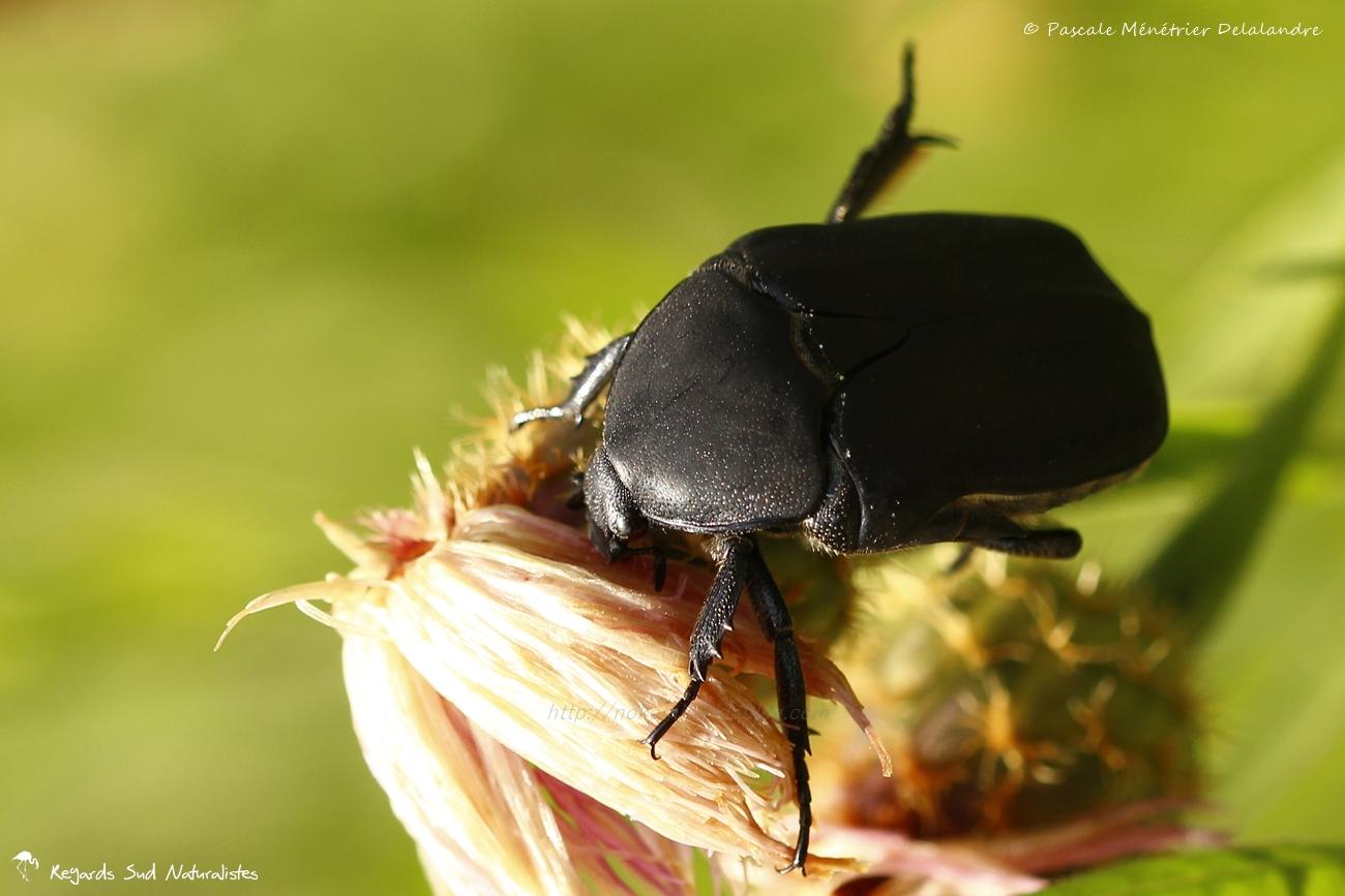 Cétoine noire - Netocia morio