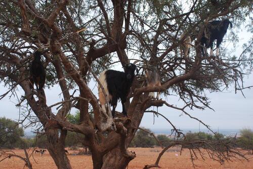 Les chèvres sur les arganiers