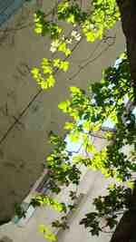 Vigne vierge de la Daraize 25 avril 2011;