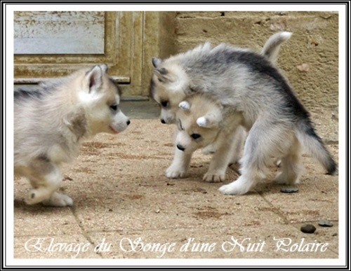 Groupe chiots Huskys (37j)