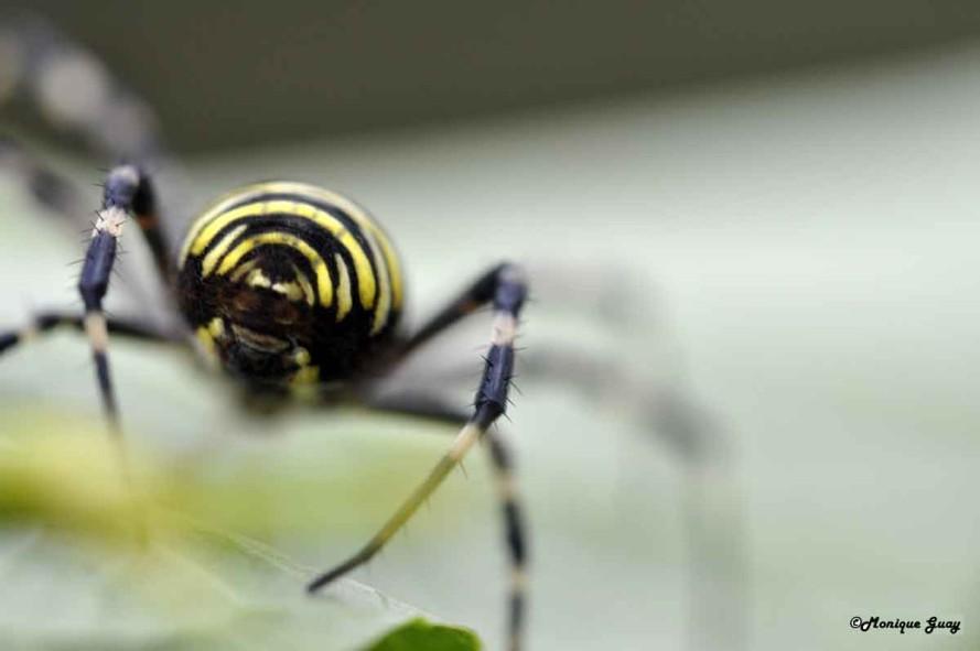 DSC6292-araignée-argiope-f