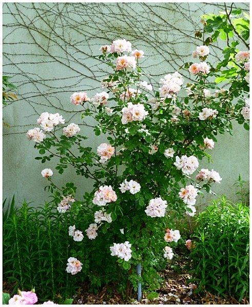 roses-petites-rose-peche.jpg