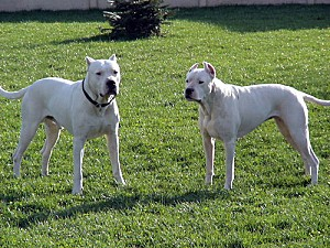 gd dogue argentin 3
