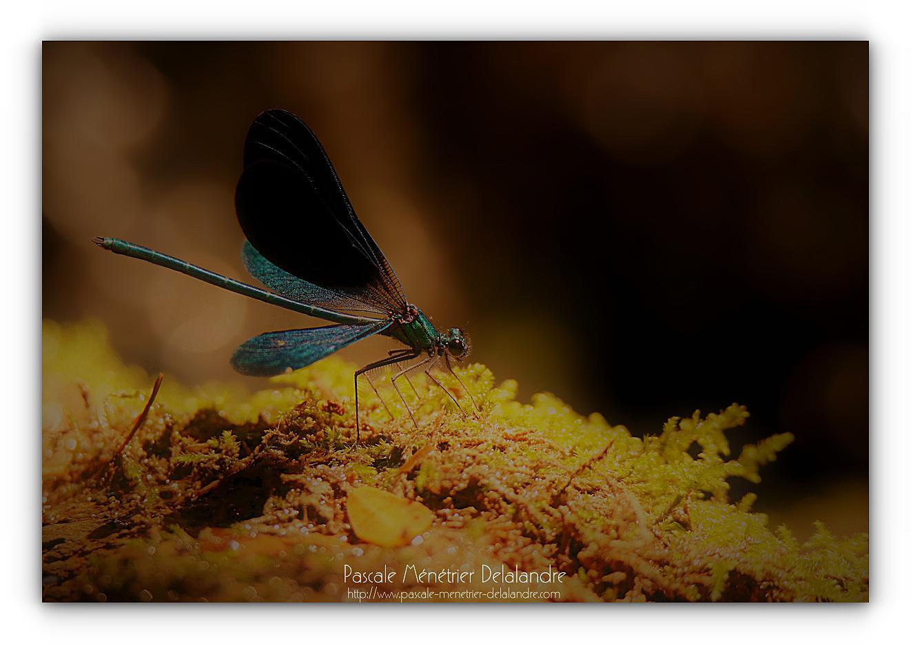 Caloptéryx vierge méridional - Calopteryx virgo méridionalis ♂