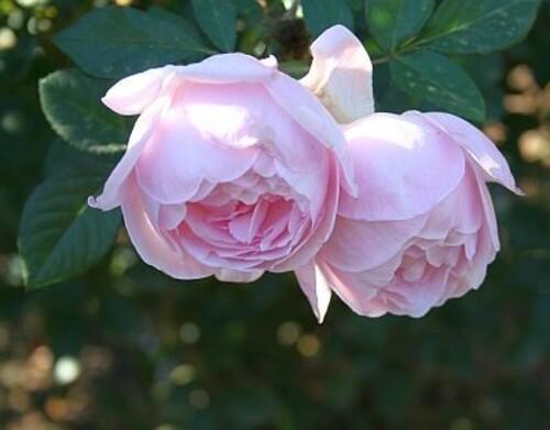 Pink-Serenade-4.jpg