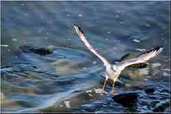 Mouette rieuse oiseaux de mer